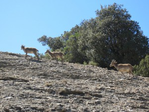 Mountain goats at Montserrat