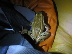 frog in tent