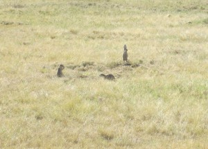 Prairie dogs near Devil's Tower