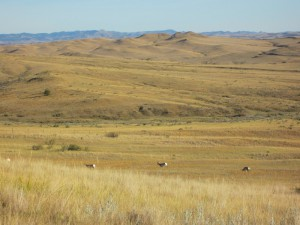 Pronghorn (antelope) at Little Bighorn National Monument, Montana