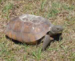 Tortoise, near Cedar Key Florida